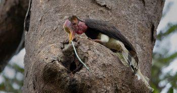 นกชนหิน