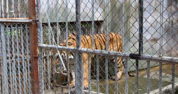 เสือ วัดป่าหลวงตาบัวฯ