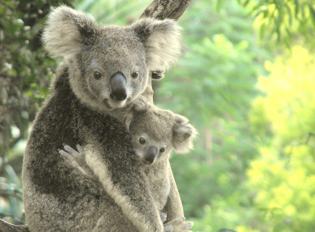นับถอยหลังโคอาลาสูญพันธุ์ ไฟป่าออสเตรเลียคร่าชีวิตโคอาล่าไปแล้วกว่าพันตัว