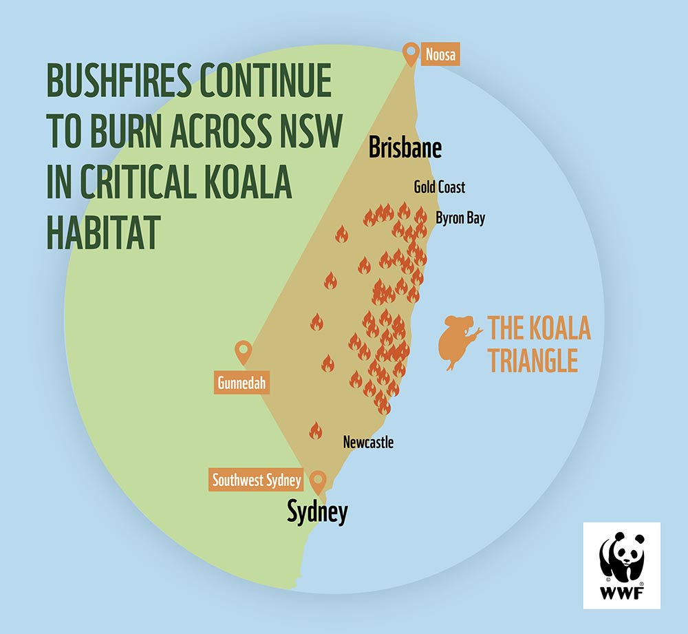 Koala infographic